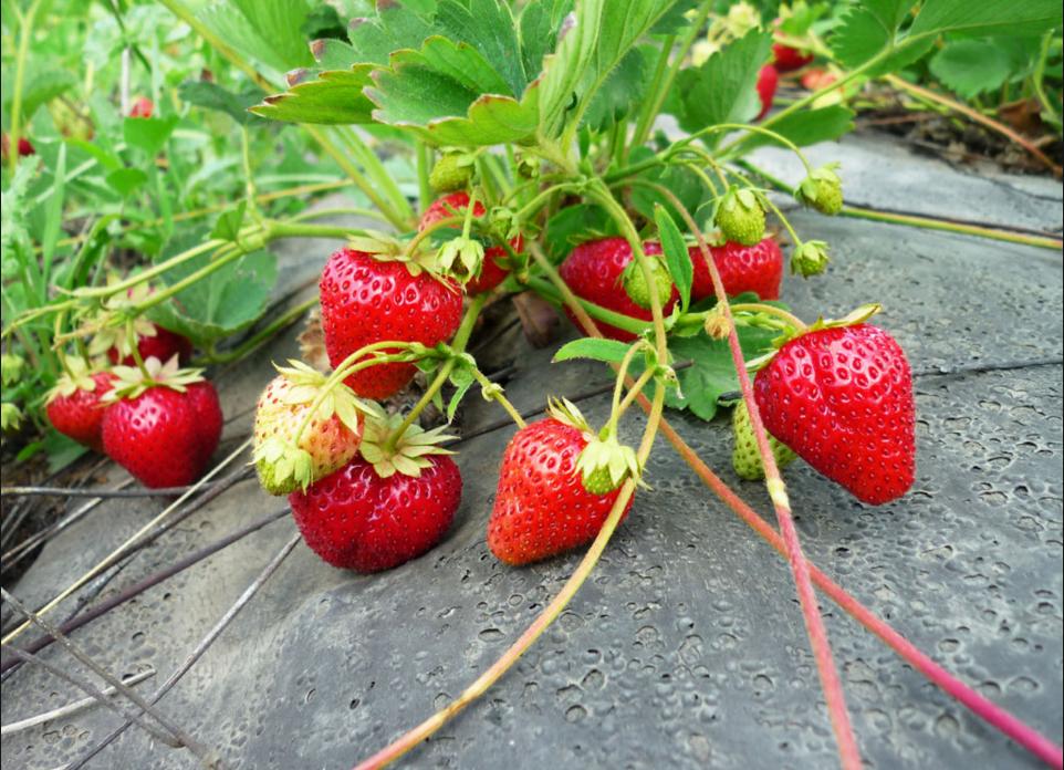 Как заработать на выращивании клубники